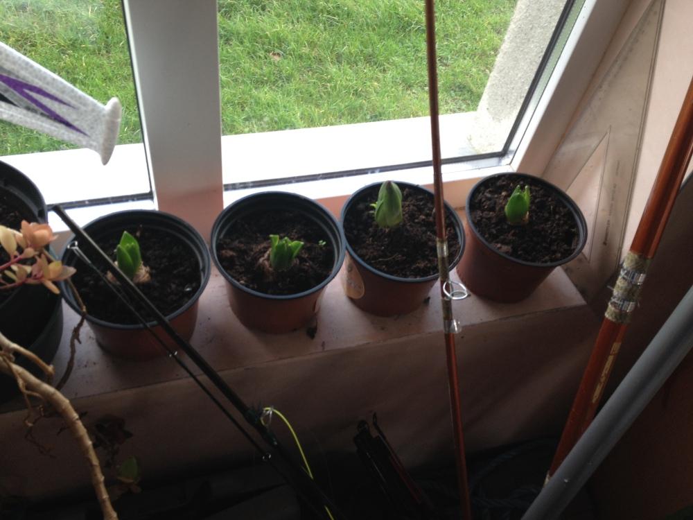 hyacinths2015 Bumbleance